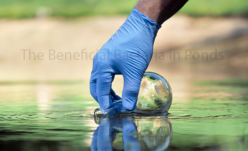 The Beneficial Bacteria in Ponds